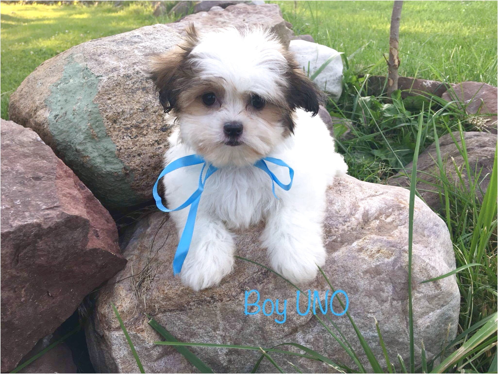 shih tzu puppies for sale new york