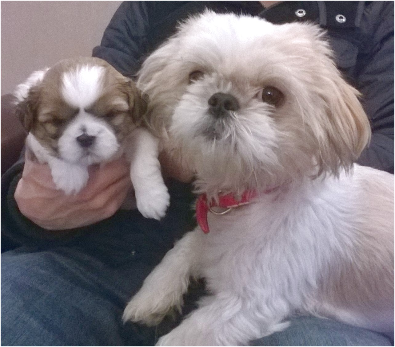 shih tzu puppies for sale newcastle