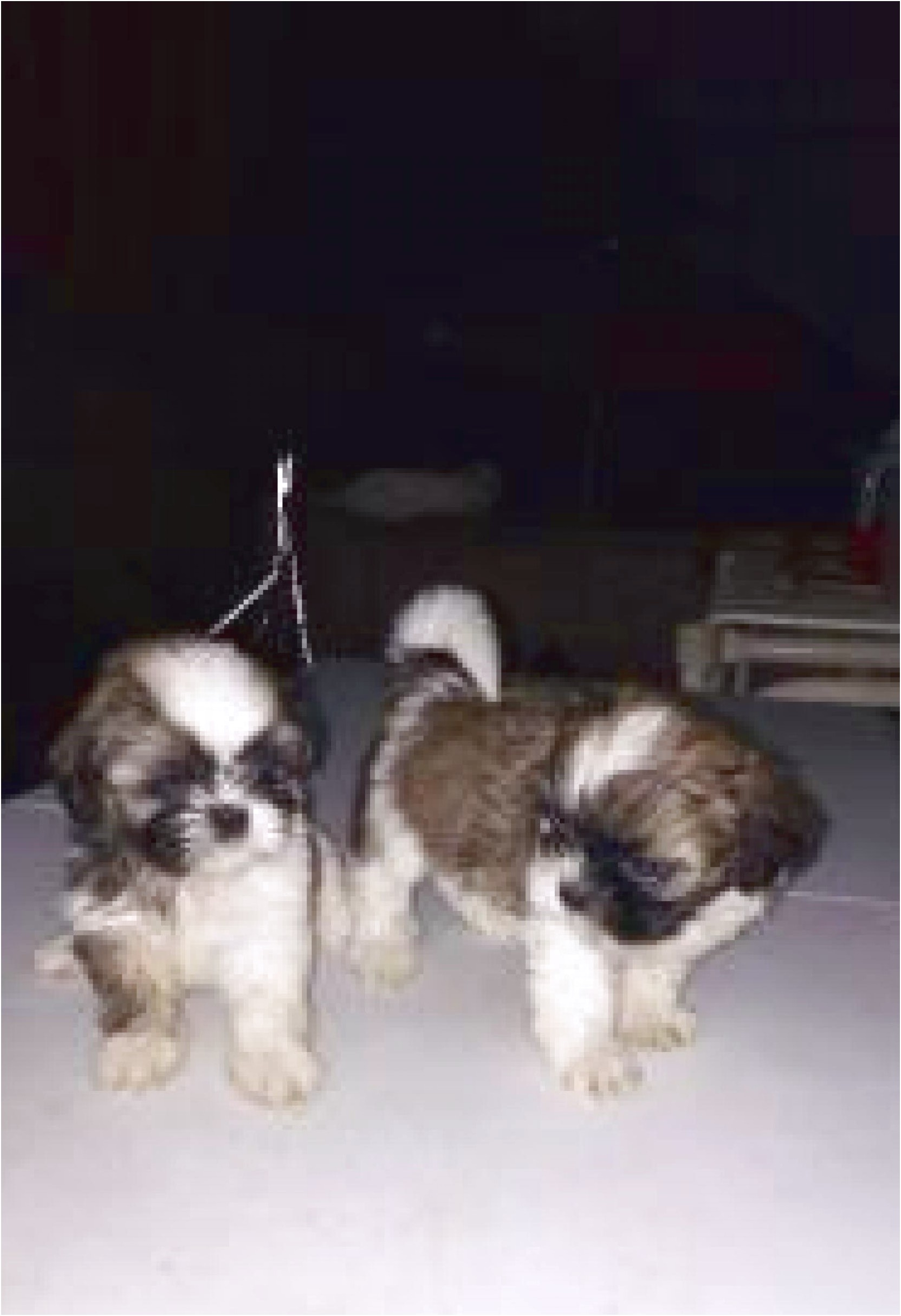 shih tzu puppies for sale no papers