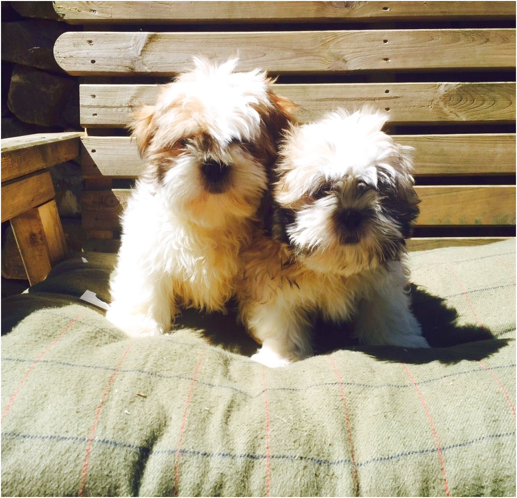 shih tzu puppies for sale north west england