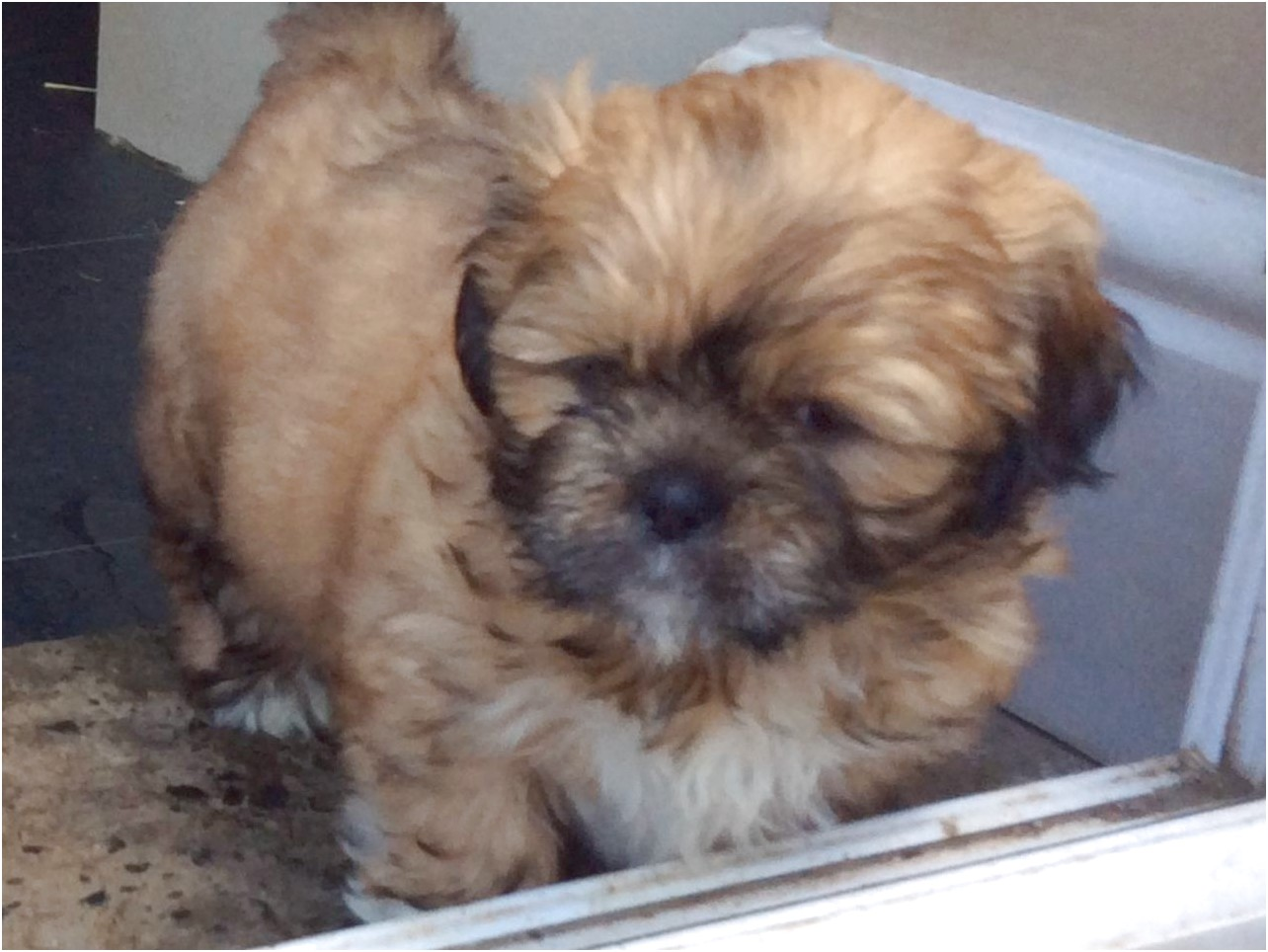 shih tzu puppies for sale north yorkshire