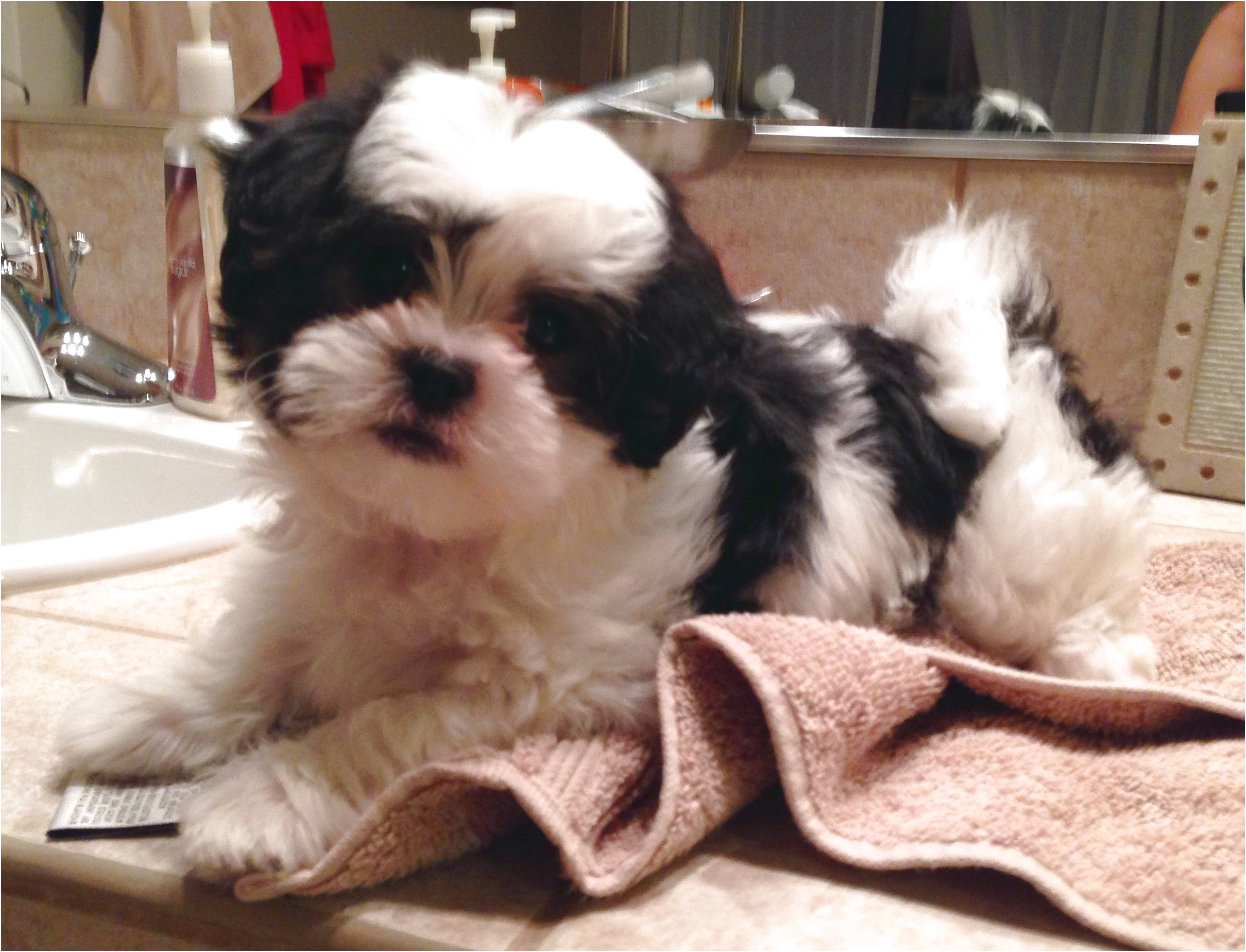 shih tzu puppies for sale oregon