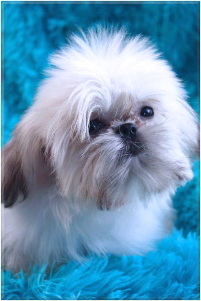 Shih Tzu Puppies For Sale Raleigh Nc
