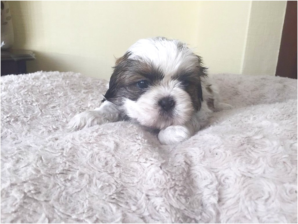 shih tzu puppies for sale rhode island