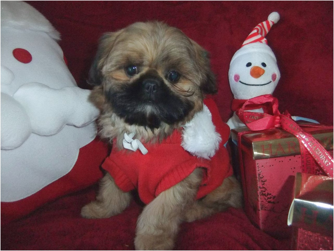 shih tzu puppies for sale romsey hampshire