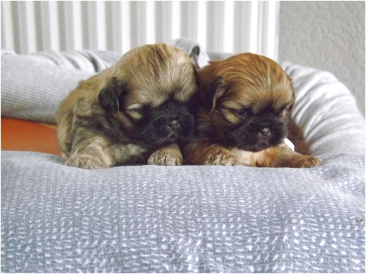 shih tzu puppies for sale runcorn