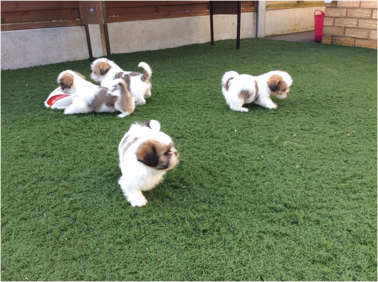 shih tzu puppies for sale sacramento