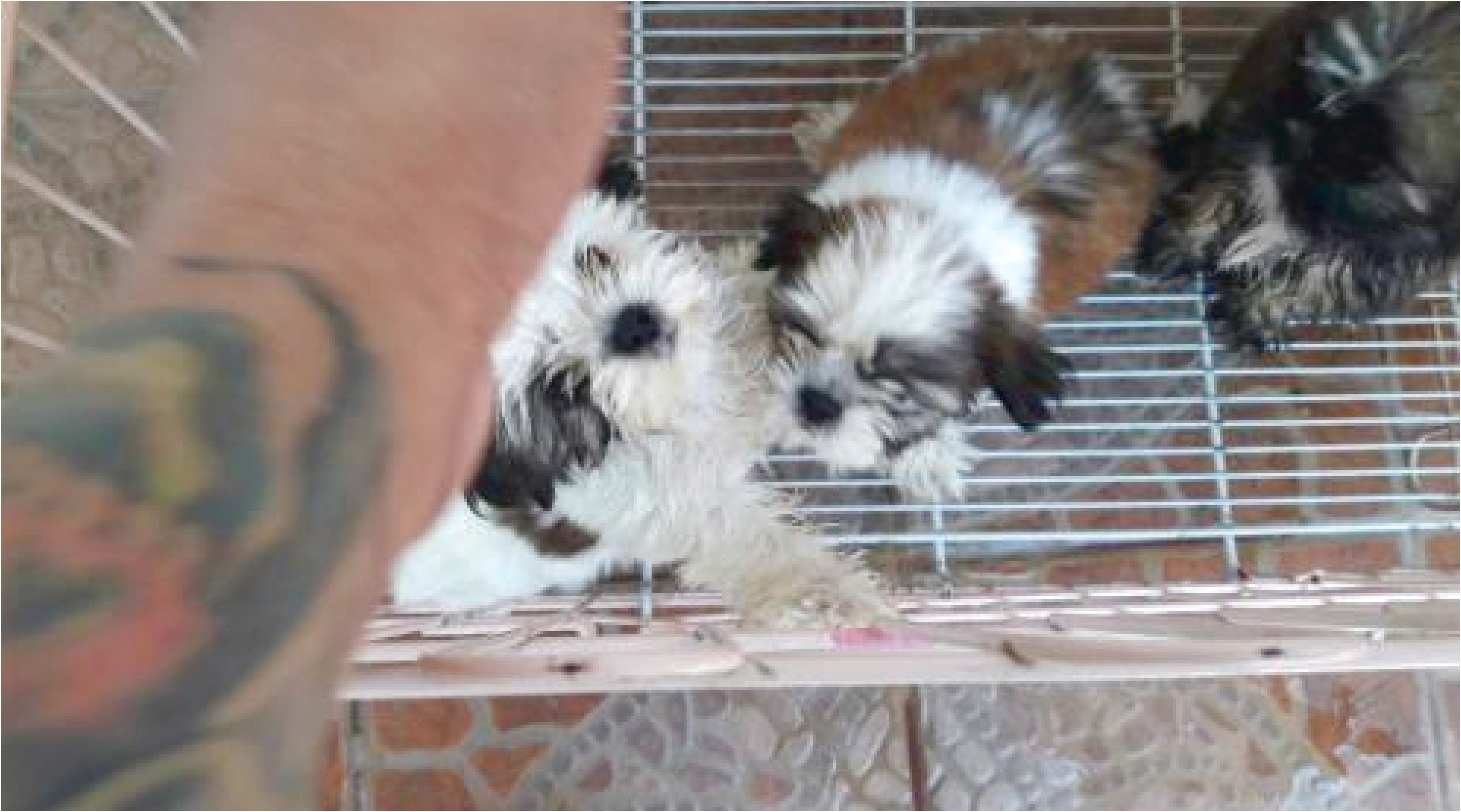 shih tzu puppies for sale san antonio