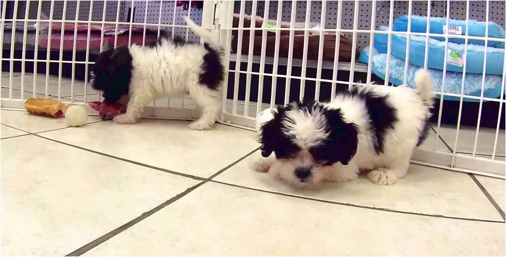 shih tzu puppies for sale seattle