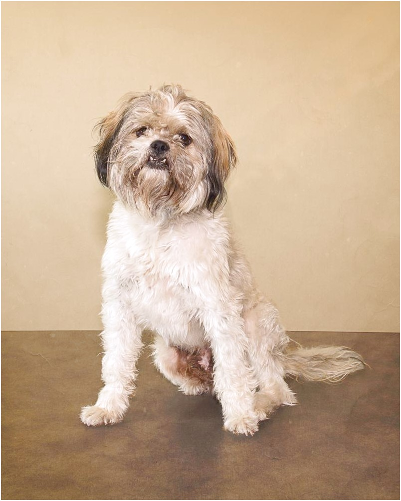 shih tzu puppies for sale spokane