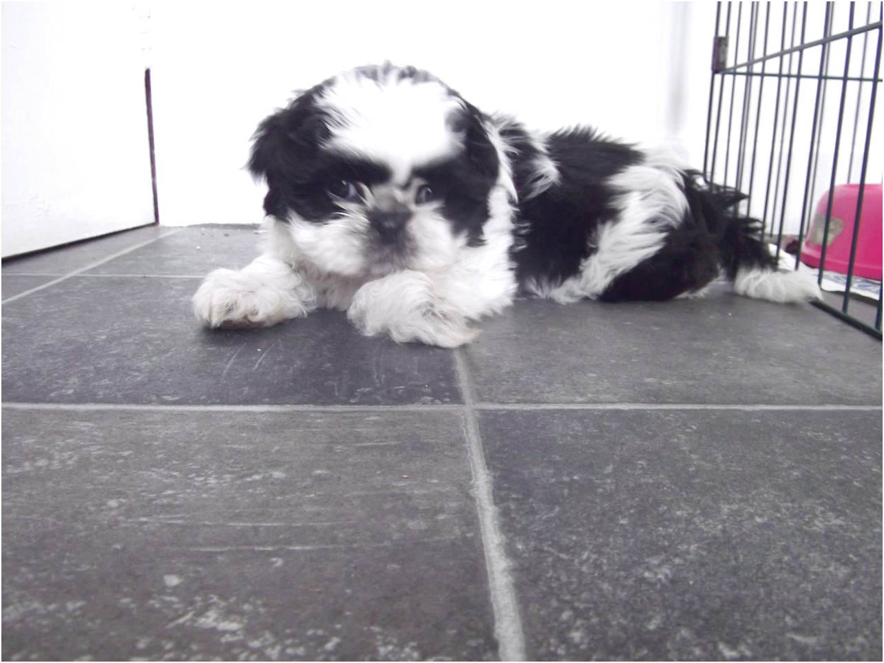 shih tzu puppies for sale swansea