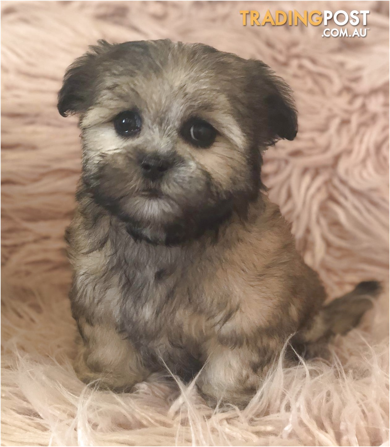 shih tzu puppies for sale tasmania