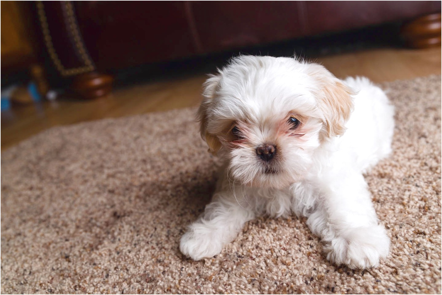 shih tzu puppies for sale under 400 in texas