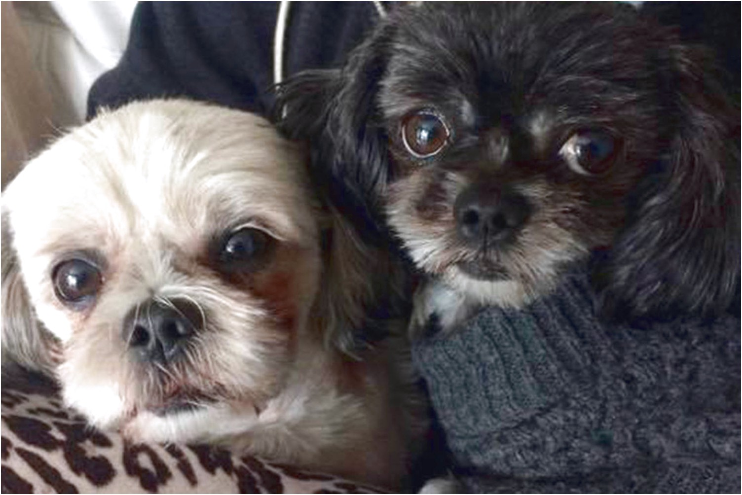 shih tzu puppies for sale vancouver island