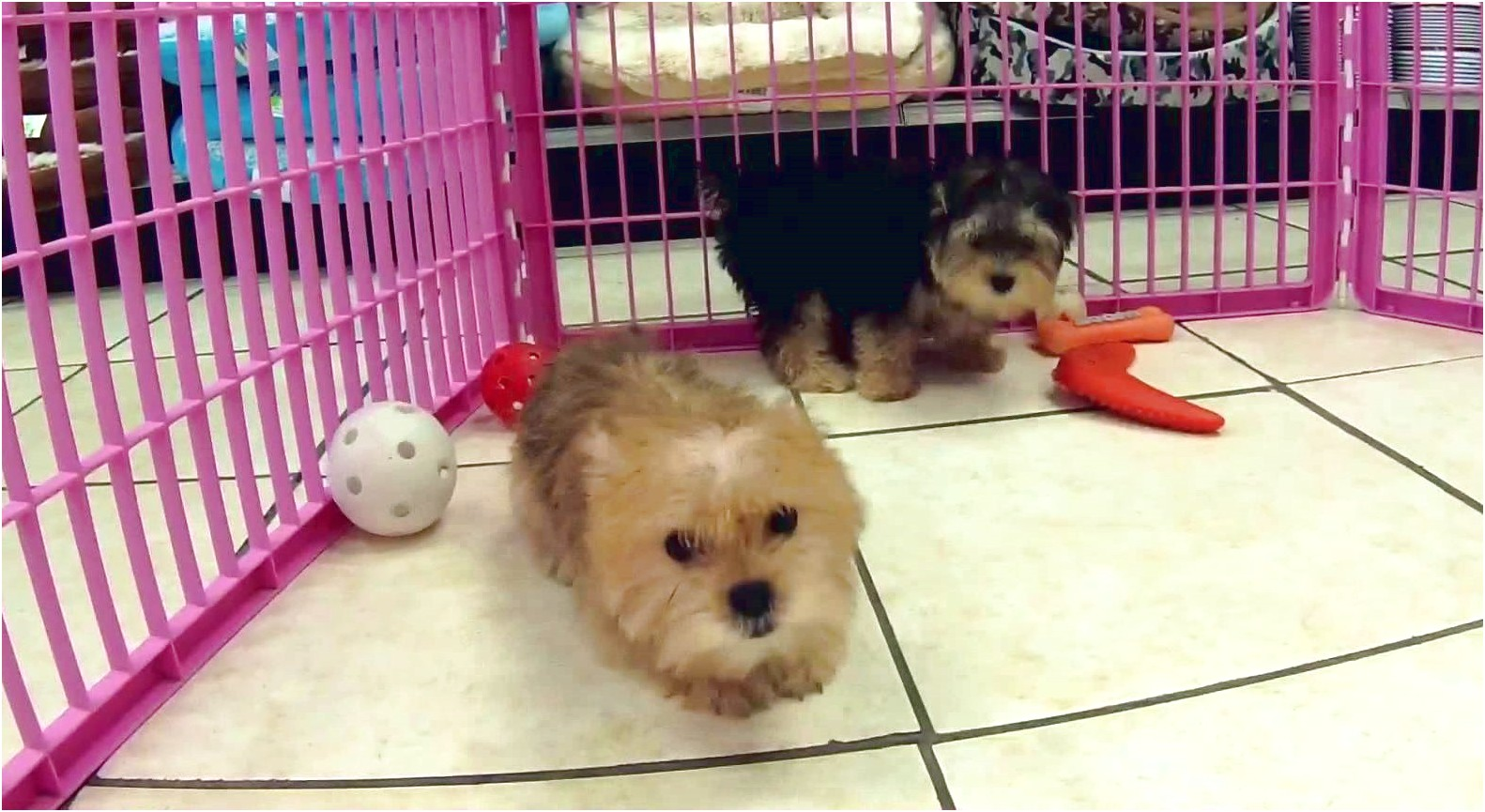 shih tzu puppies for sale yakima wa