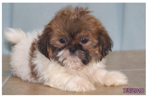 shih tzu puppies for sell in alabama