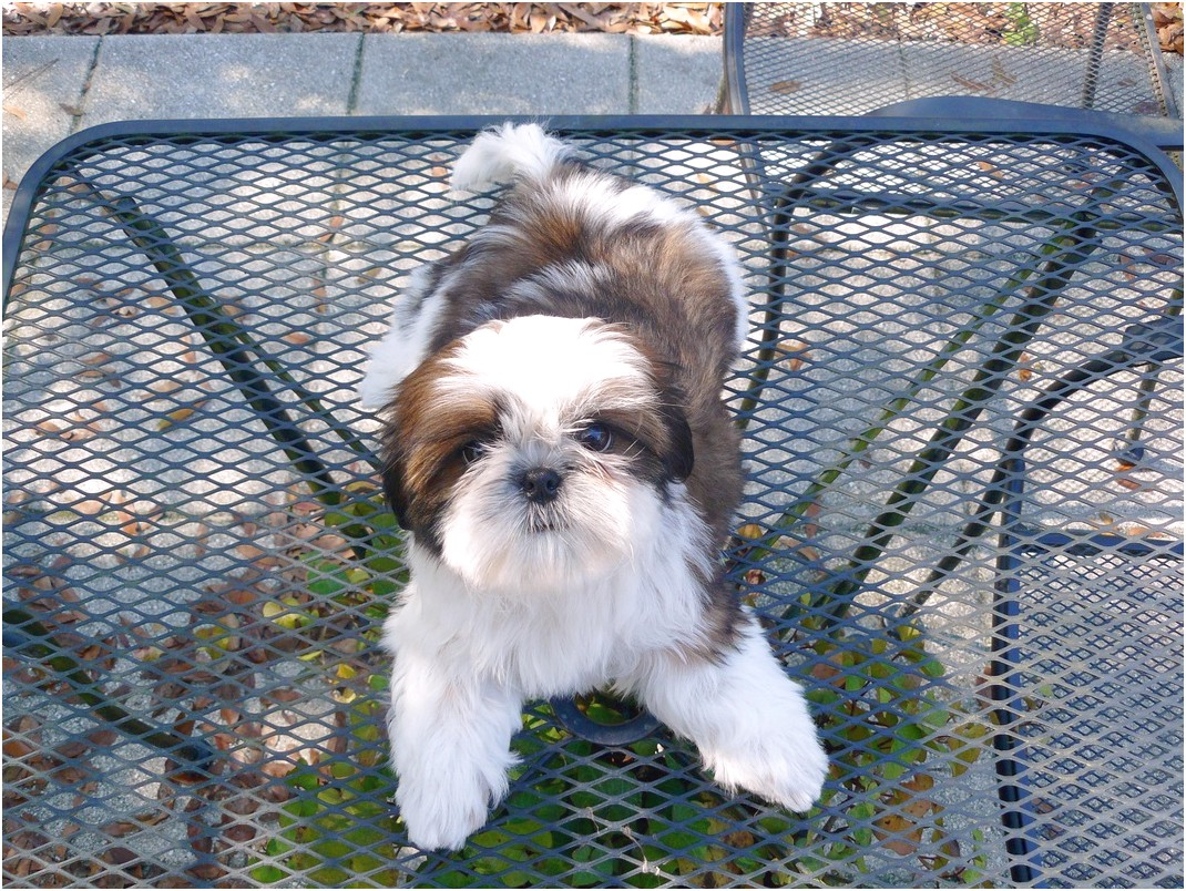 shih tzu puppy for sale alabama