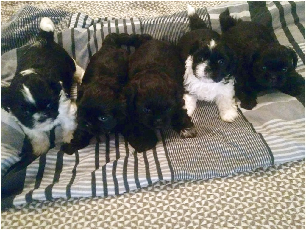 shih tzu puppy for sale birmingham