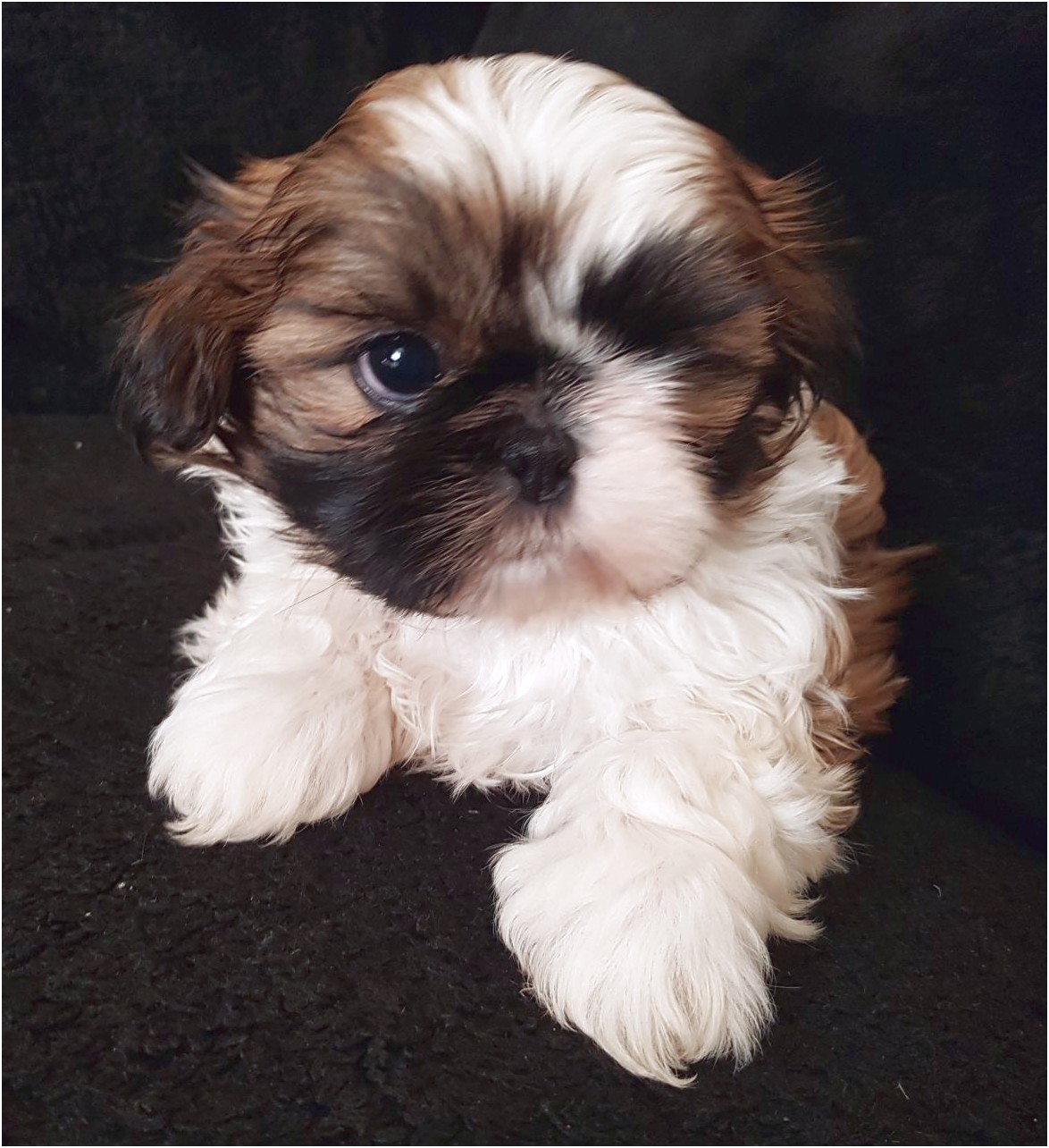 shih tzu puppy for sale blackpool