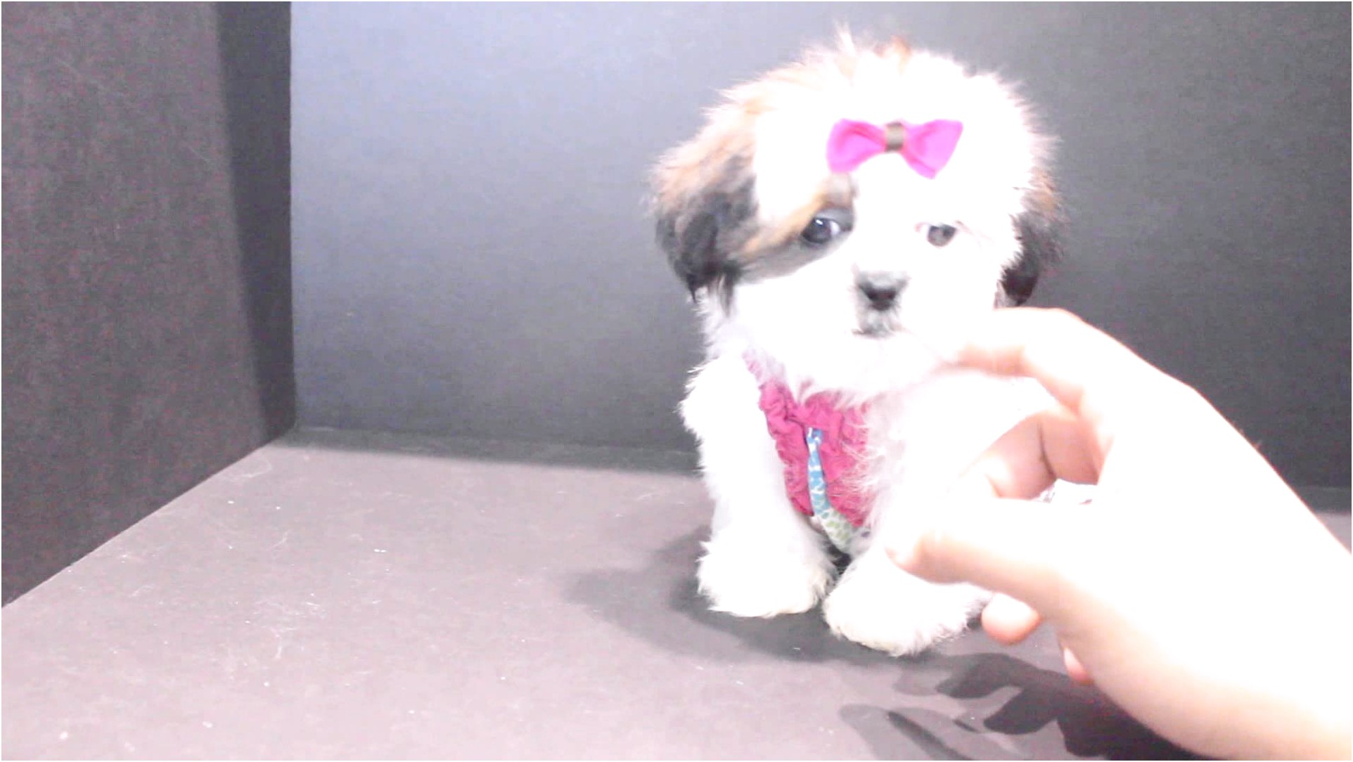 shih tzu puppy for sale california