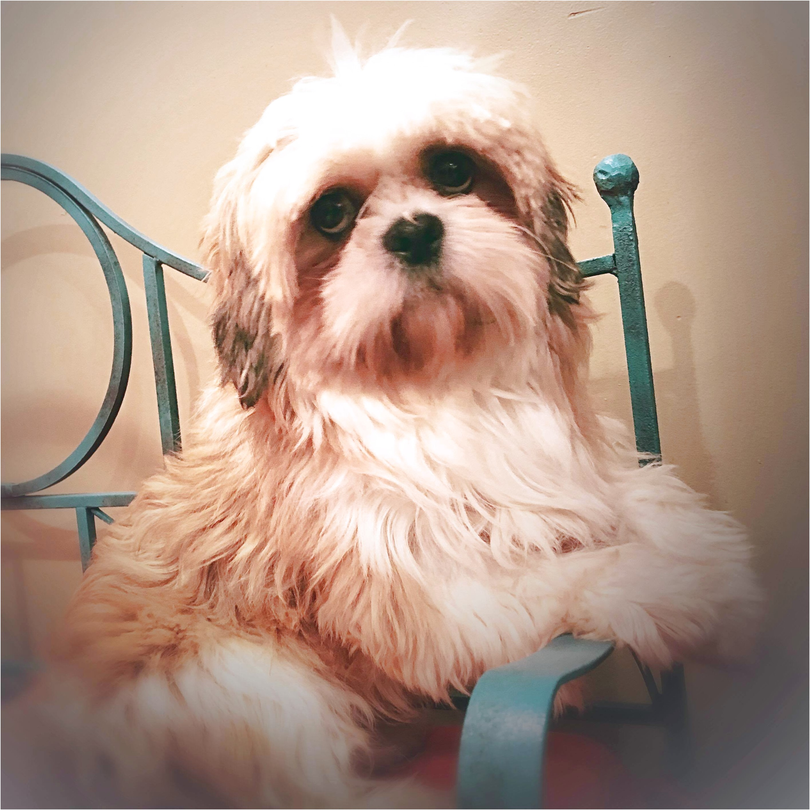 shih tzu puppy for sale cleveland ohio