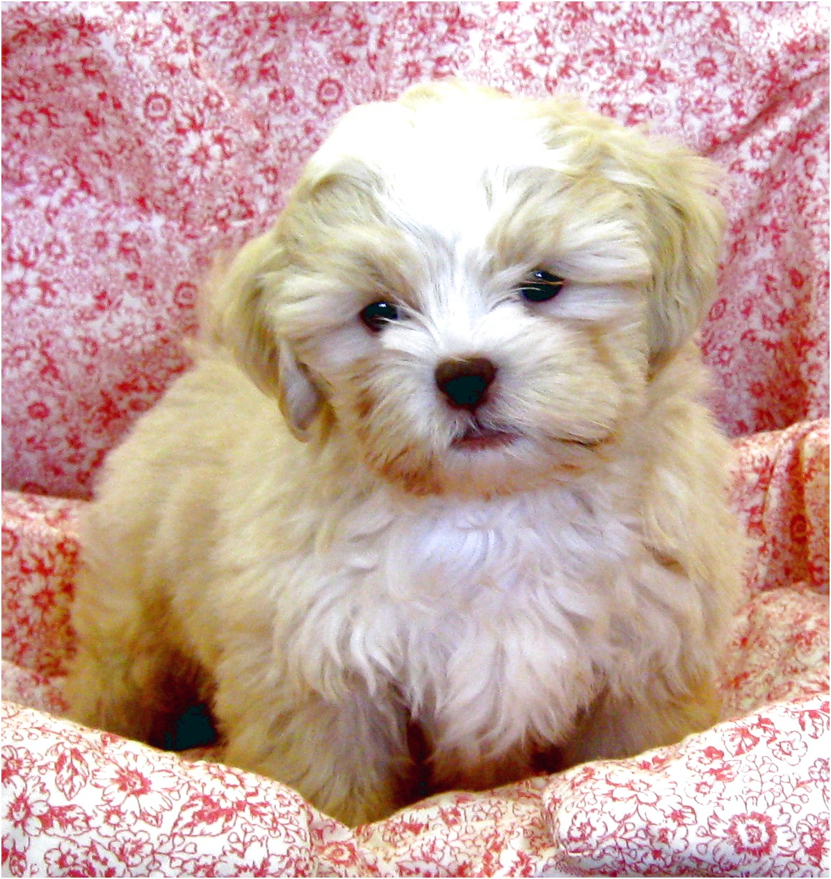 shih tzu puppy for sale colorado