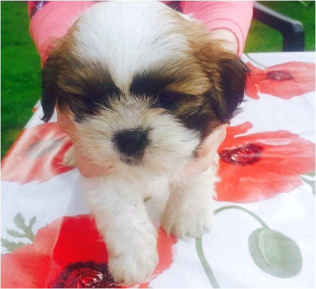 shih tzu puppy for sale dundee
