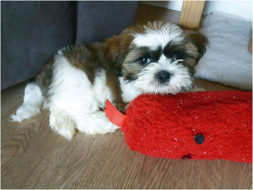 shih tzu puppy for sale east sussex