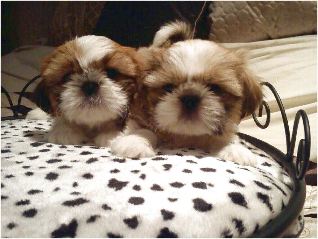 shih tzu puppy for sale glasgow
