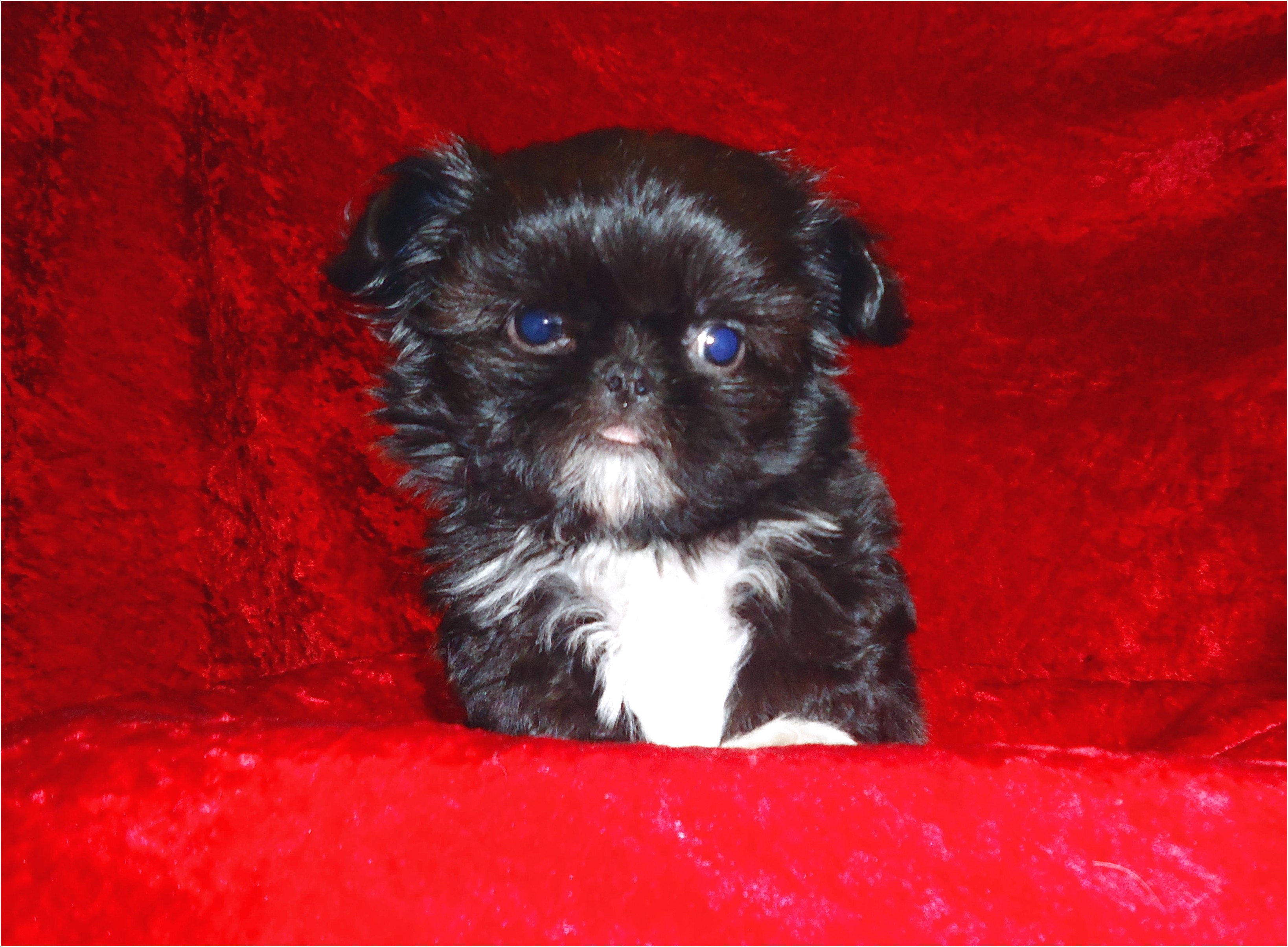 shih tzu puppy for sale los angeles