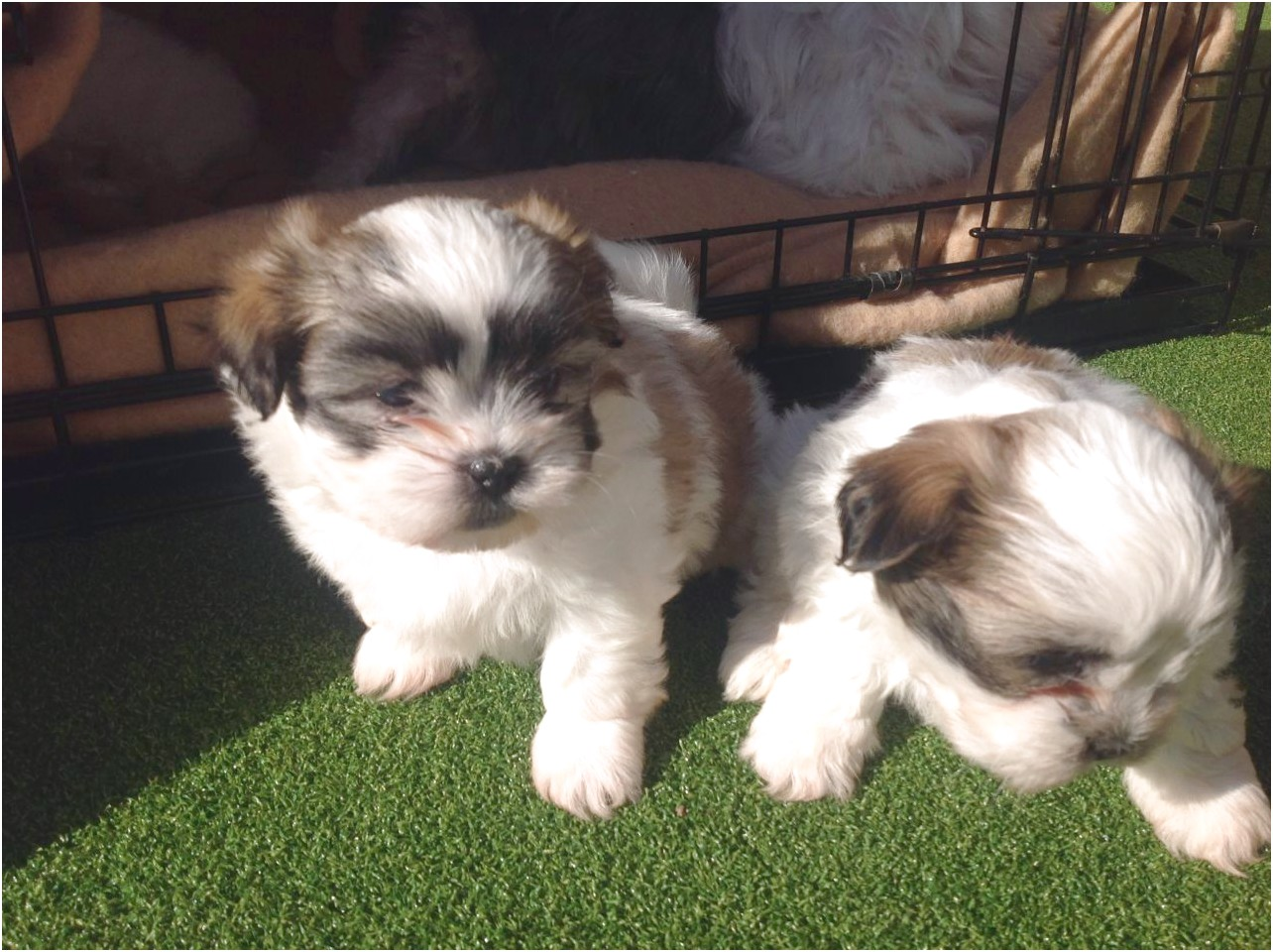 shih tzu puppy for sale malta