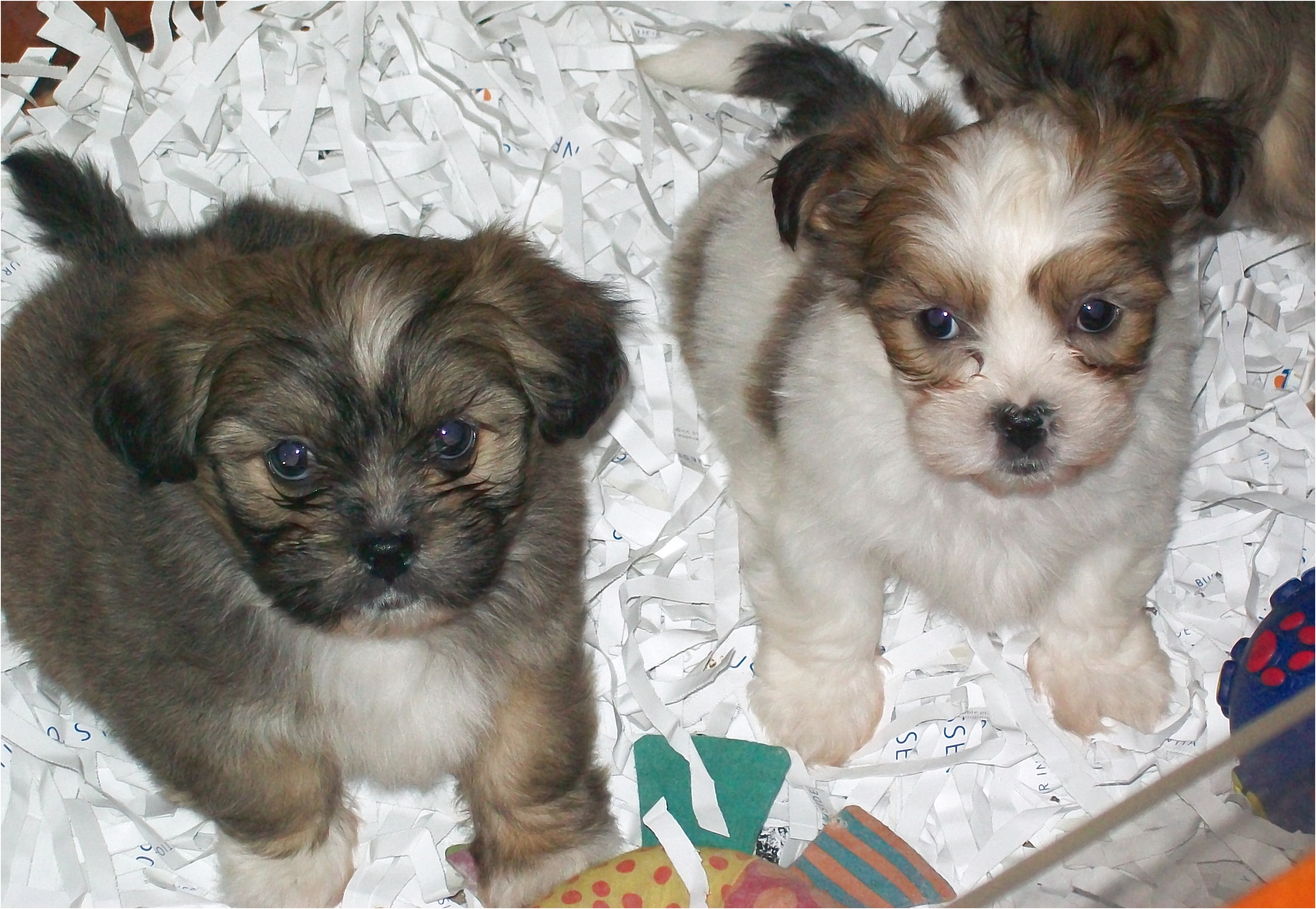 shih tzu puppy for sale melbourne
