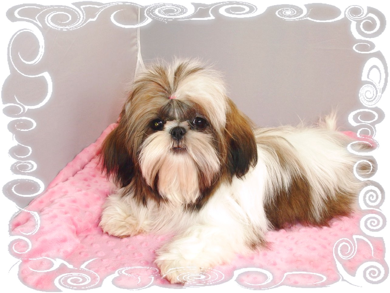 shih tzu puppy for sale michigan