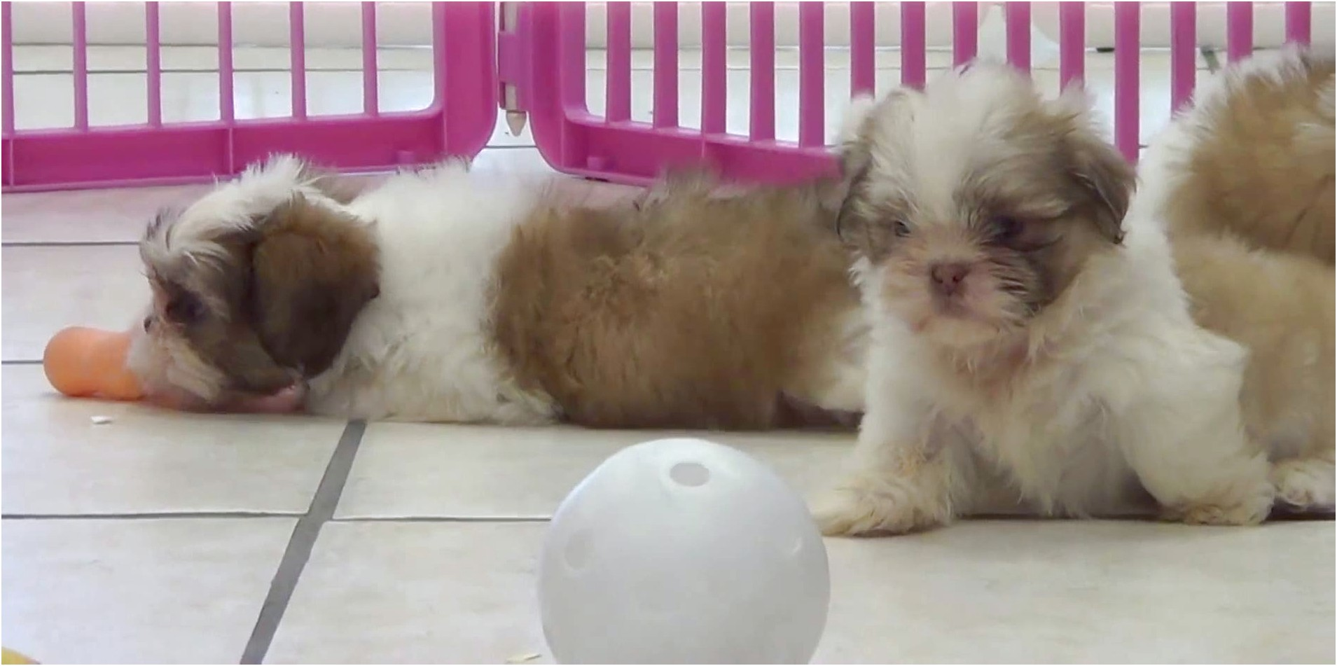 shih tzu puppy for sale north east