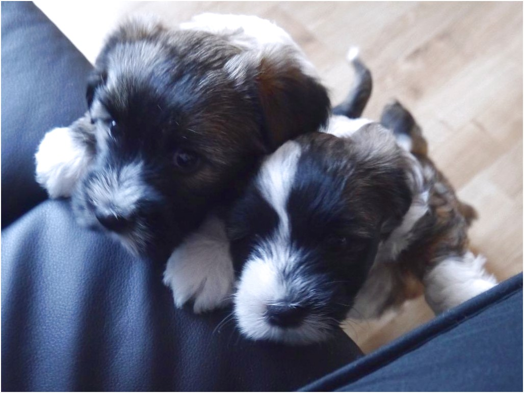 shih tzu puppy for sale north wales