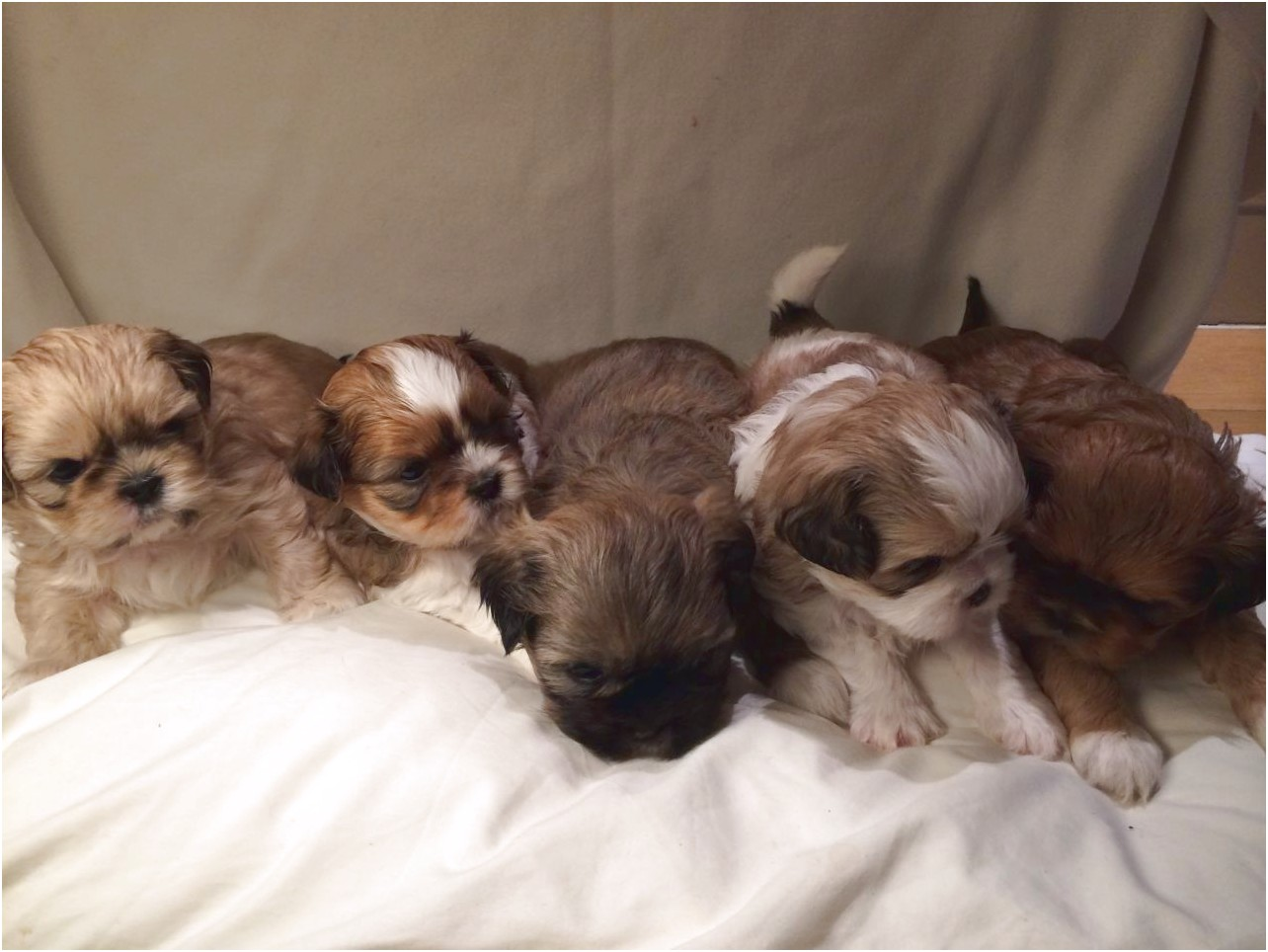 shih tzu puppy for sale north west