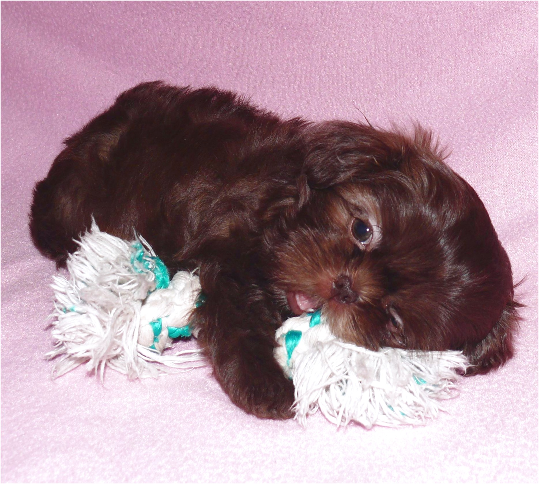 shih tzu puppy for sale oklahoma