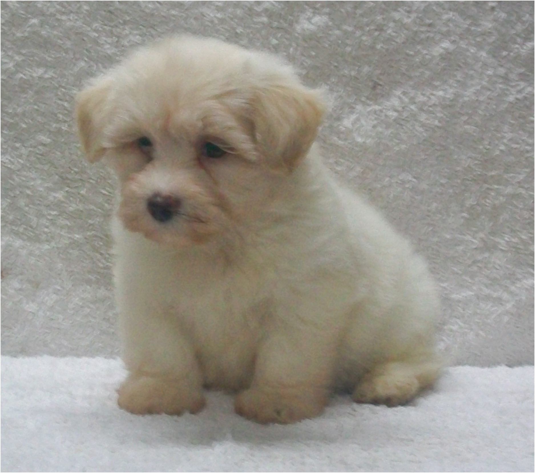 shih tzu puppy for sale qld