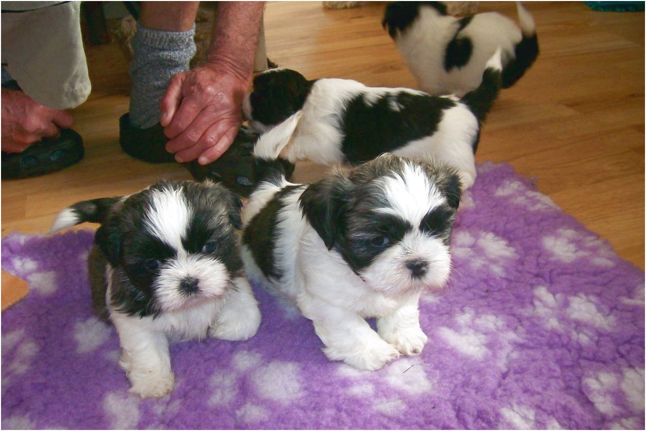 shih tzu puppy for sale scotland