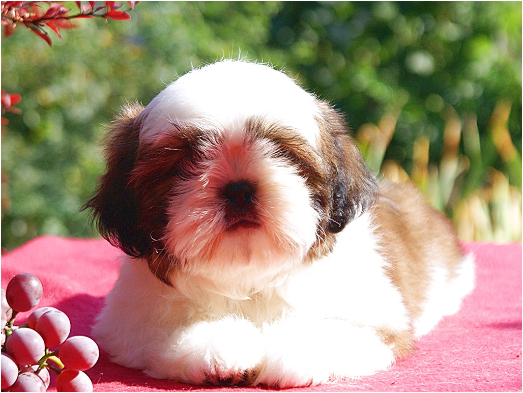 shih tzu puppy for sale singapore