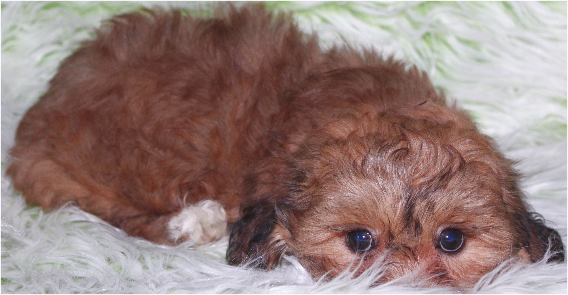 shih tzu puppy for sale vancouver