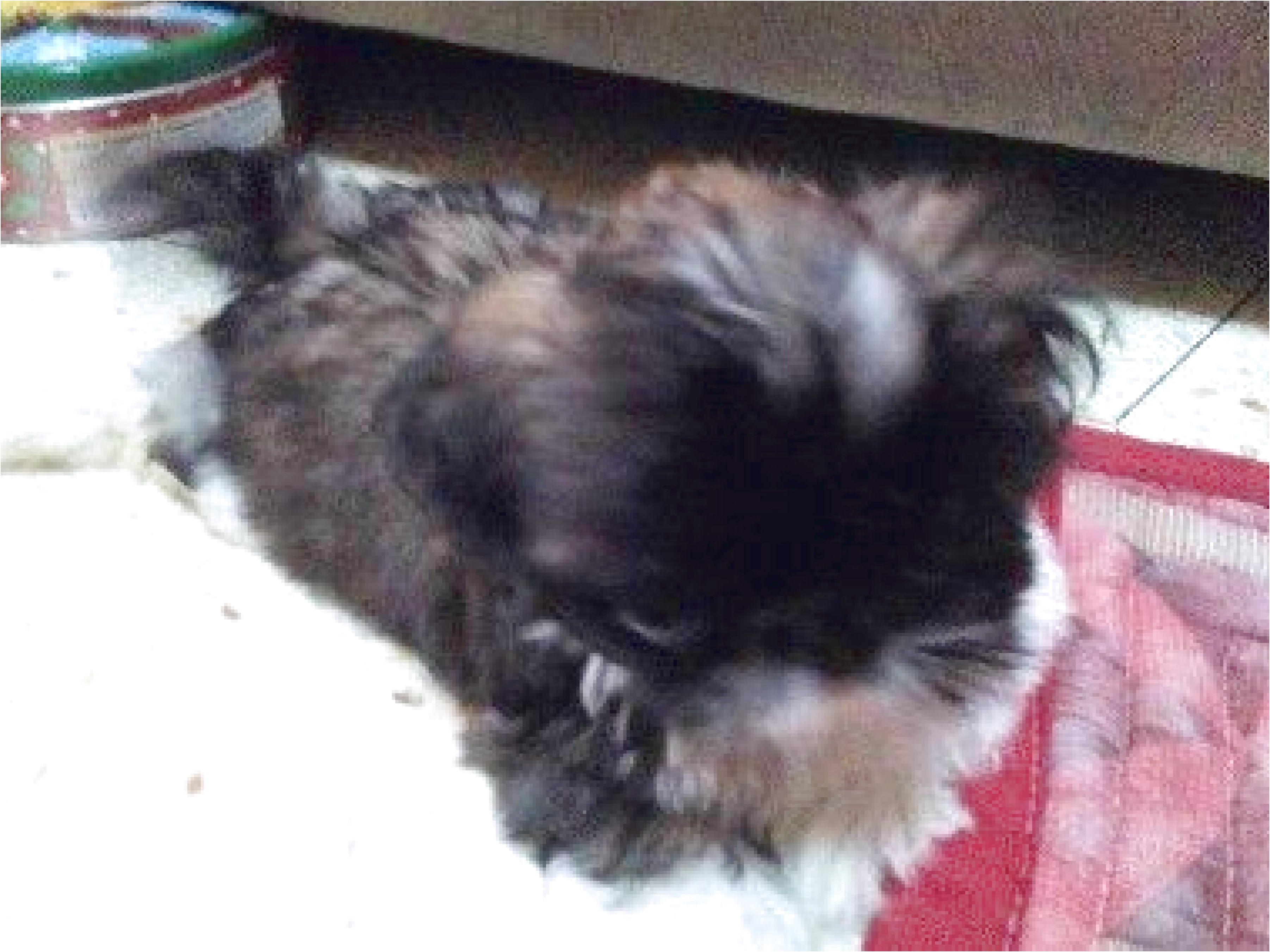 shih tzu puppy for sale victoria