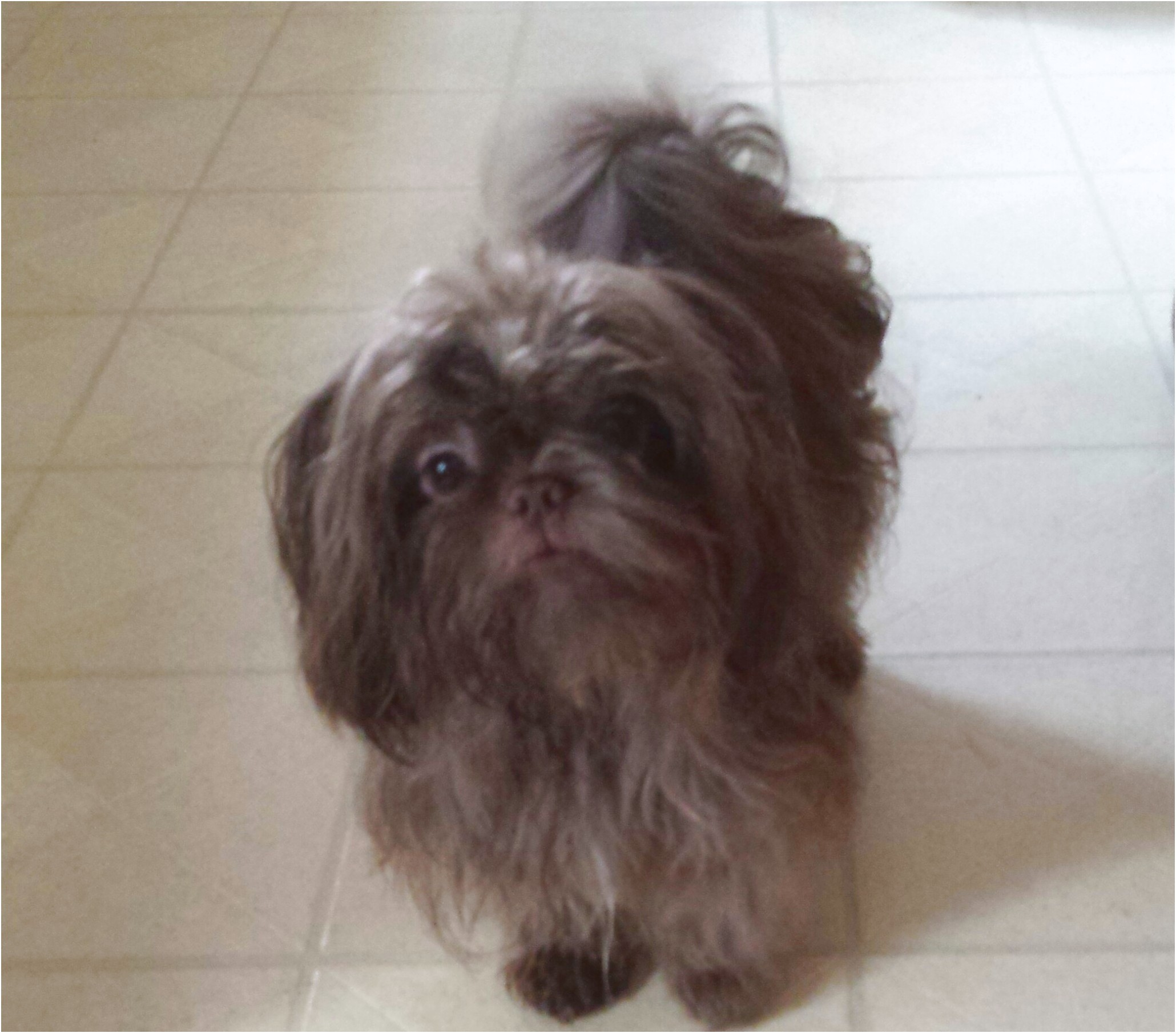 shih tzu puppy for sale virginia
