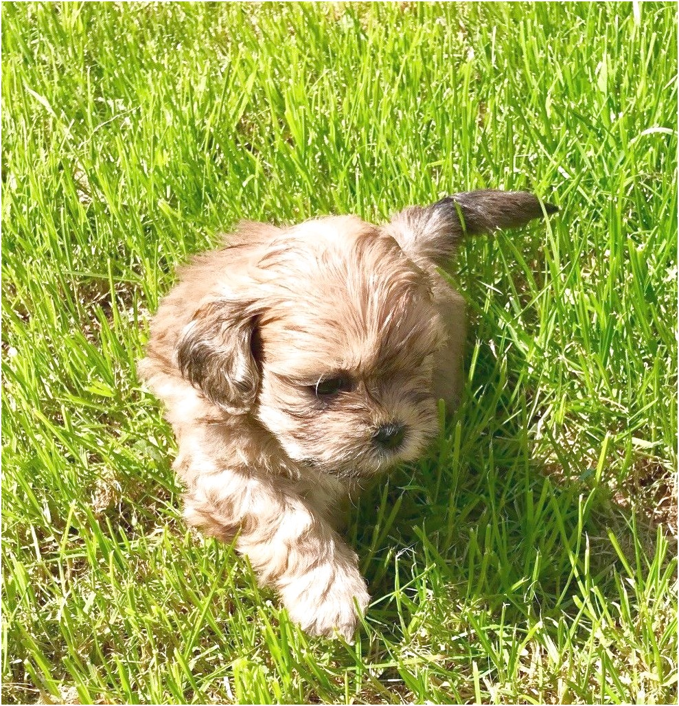shih tzu puppy for sale wales