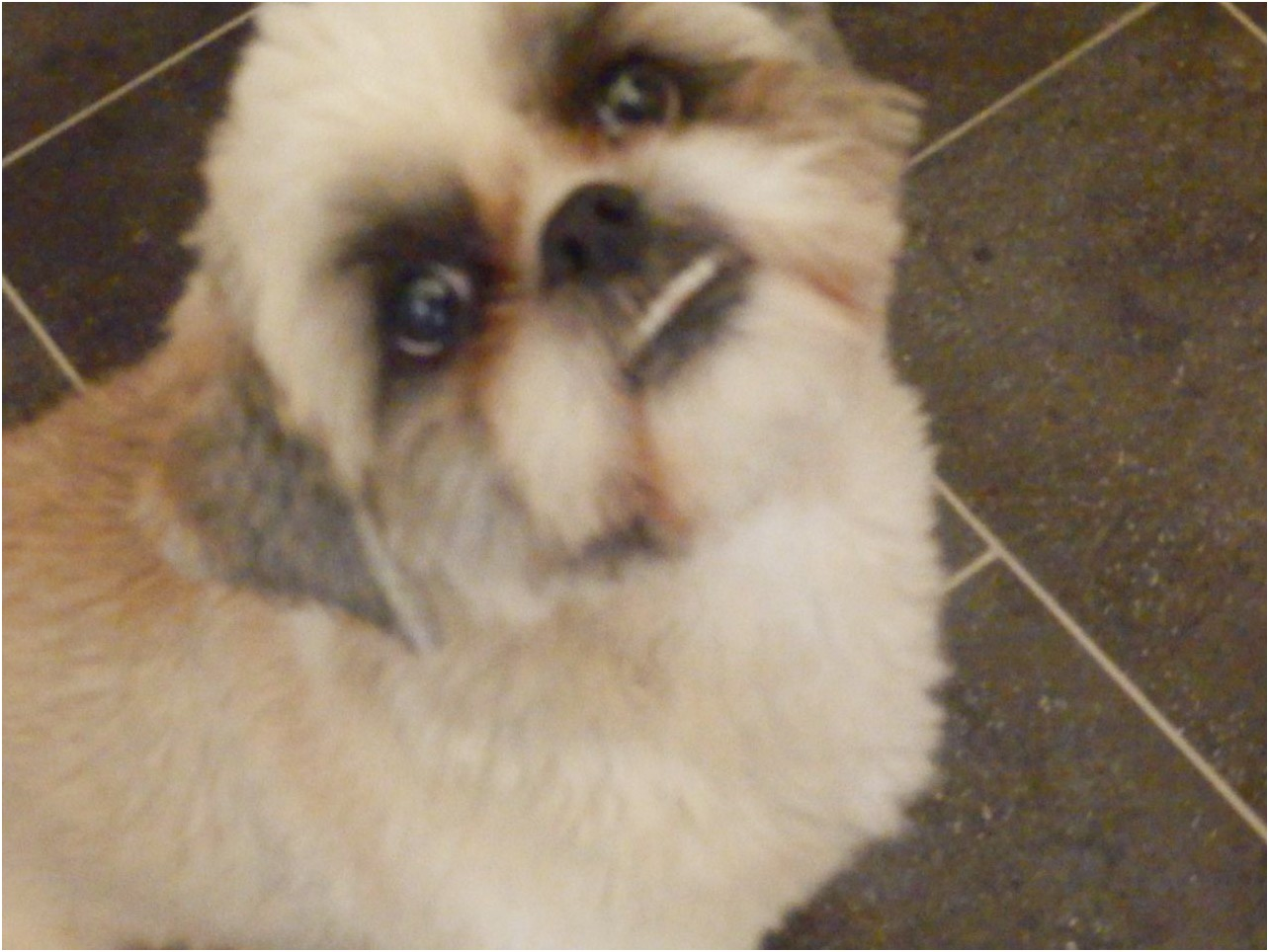 shih tzu puppy for sale walsall
