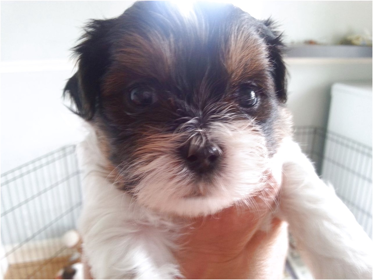 shih tzu x for sale
