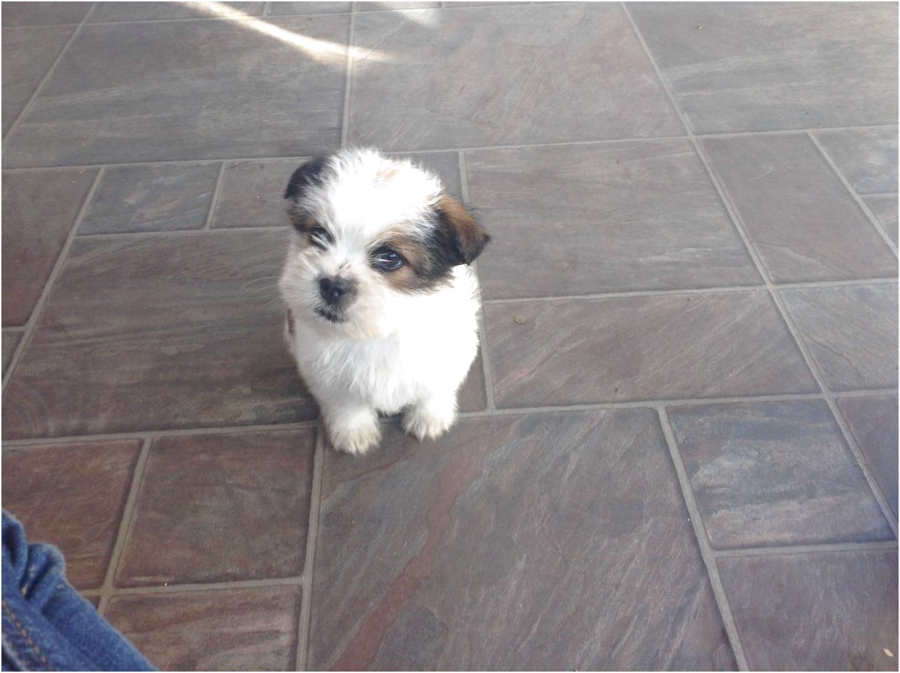 shih tzu x puppies for sale in kent