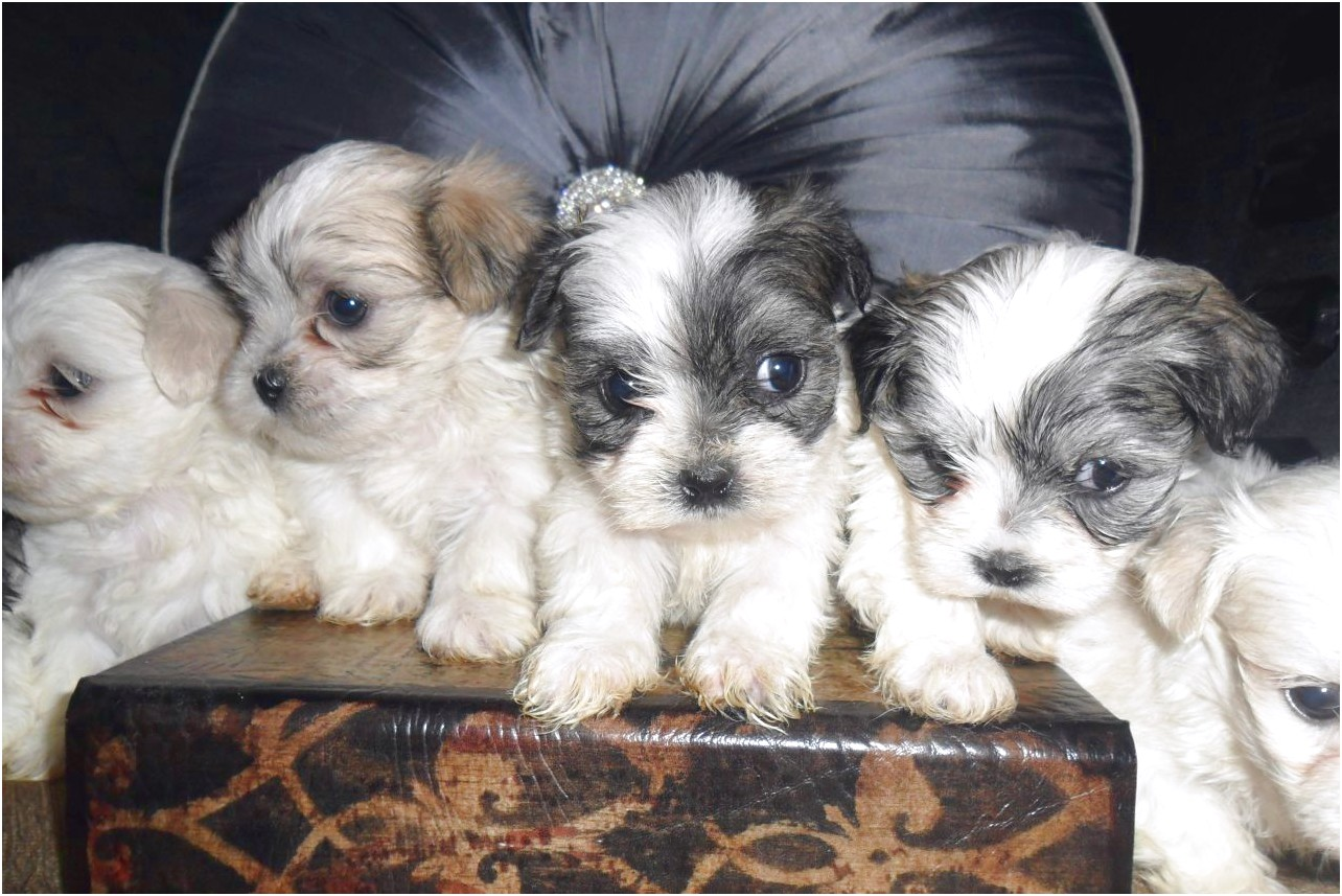 shih tzu x puppies for sale melbourne
