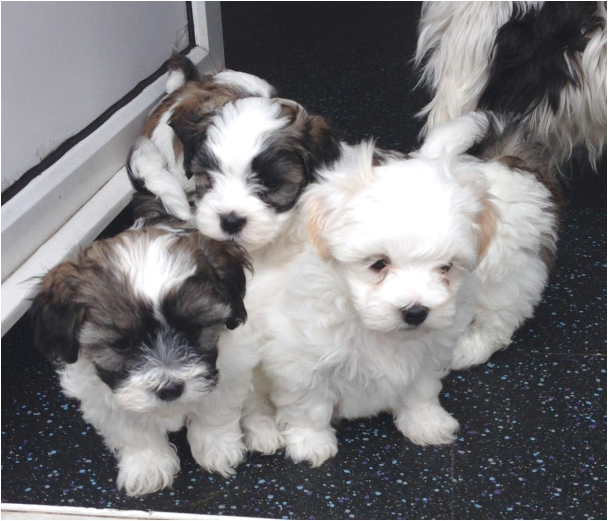 shih tzu x puppies for sale perth