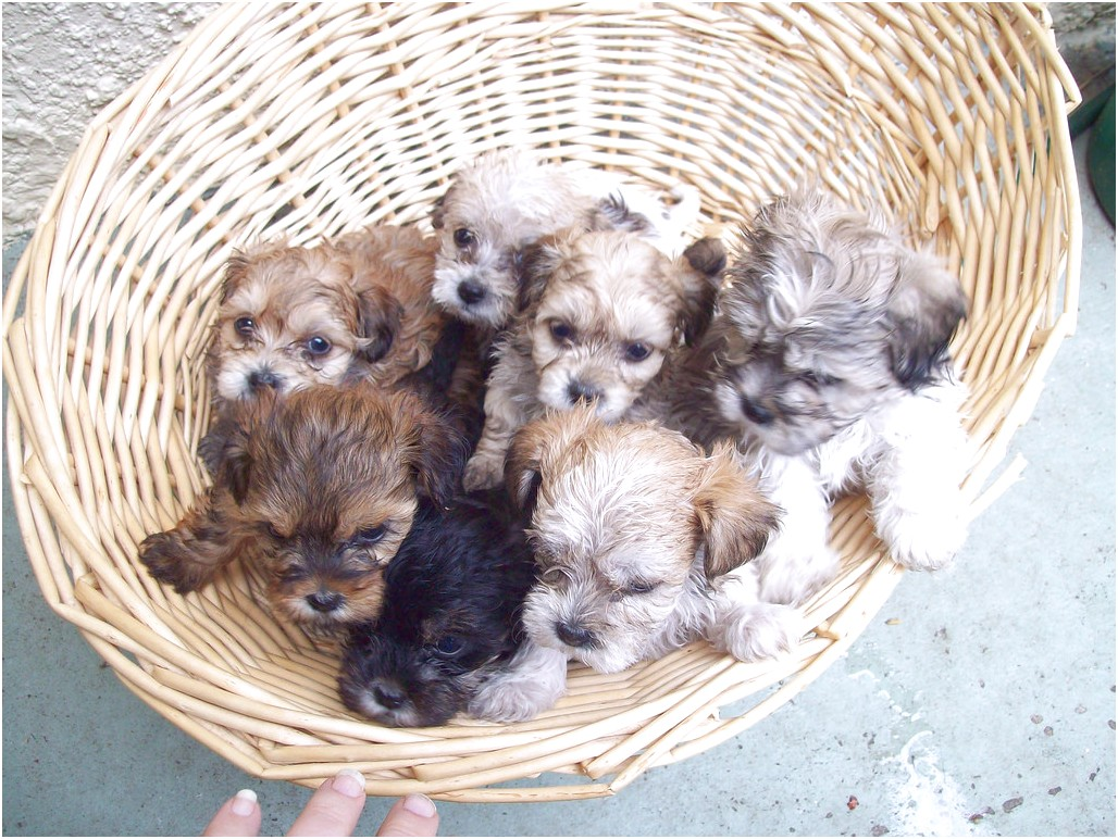 shih tzu x puppies for sale qld